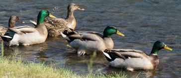 Interdiction de nourrir les canards